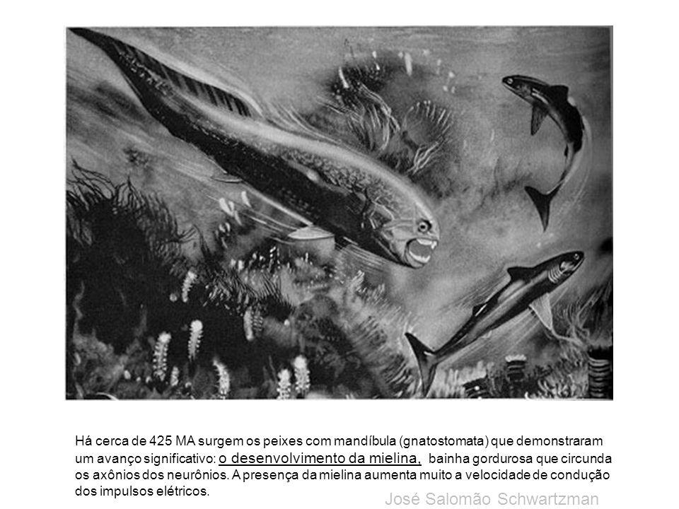 Há cerca de 425 MA surgem os peixes com mandíbula (gnatostomata) que demonstraram um avanço significativo: o desenvolvimento da mielina, bainha gordur