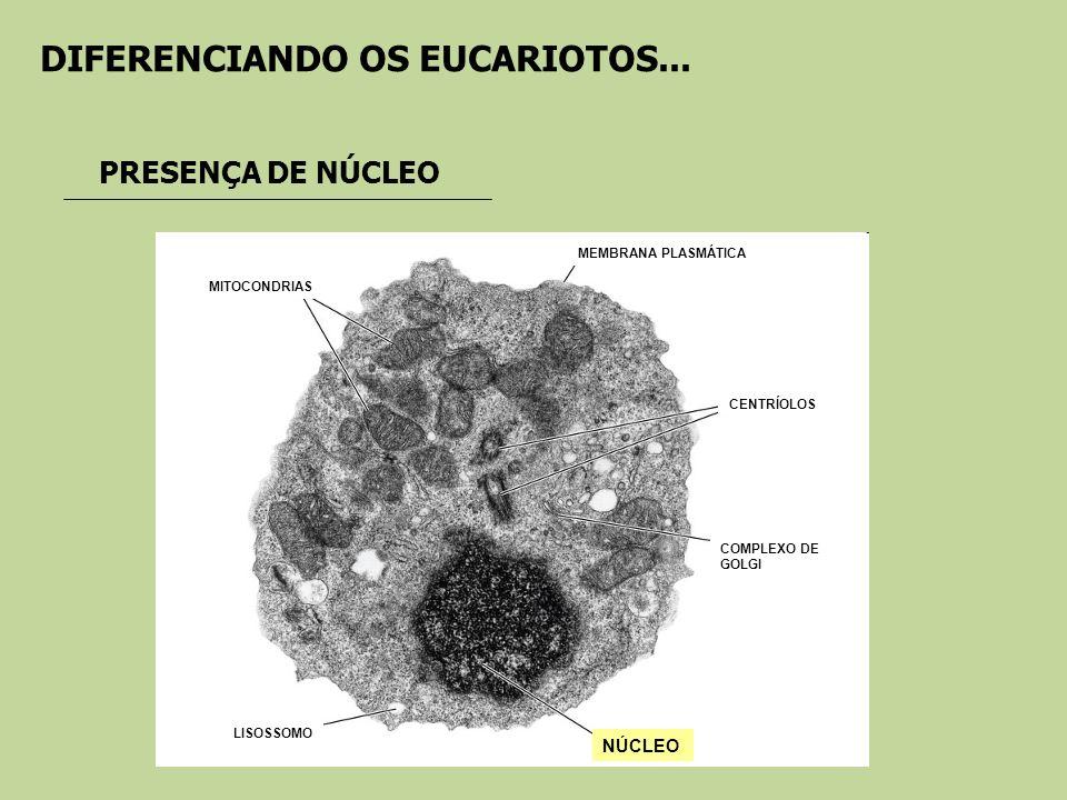 DIFERENCIANDO OS EUCARIOTOS... PRESENÇA DE NÚCLEO NÚCLEO COMPLEXO DE GOLGI CENTRÍOLOS MEMBRANA PLASMÁTICA MITOCONDRIAS LISOSSOMO