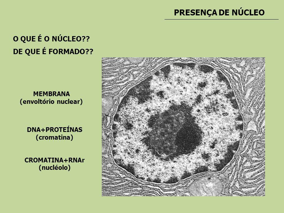 PRESENÇA DE NÚCLEO O QUE É O NÚCLEO?? DE QUE É FORMADO?? MEMBRANA (envoltório nuclear) DNA+PROTEÍNAS (cromatina) CROMATINA+RNAr (nucléolo)