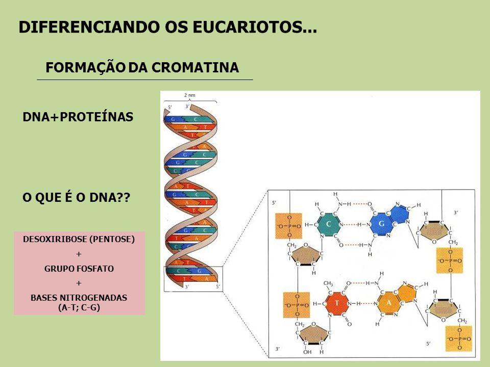 DESOXIRIBOSE (PENTOSE) + GRUPO FOSFATO + BASES NITROGENADAS (A-T; C-G) FORMAÇÃO DA CROMATINA O QUE É O DNA?? DIFERENCIANDO OS EUCARIOTOS... DNA+PROTEÍ