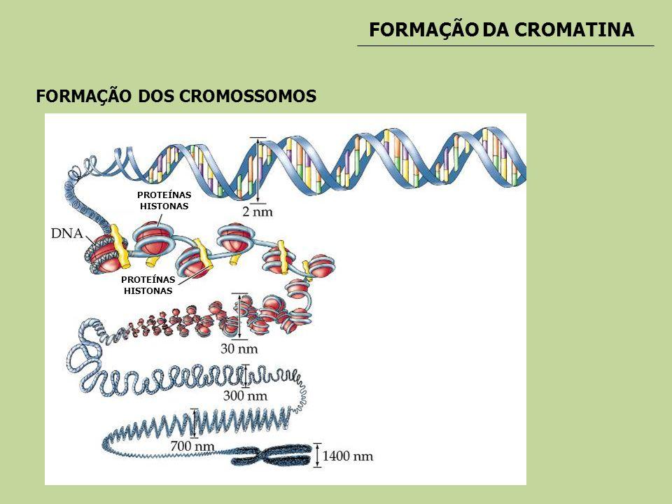 FORMAÇÃO DA CROMATINA FORMAÇÃO DOS CROMOSSOMOS PROTEÍNAS HISTONAS