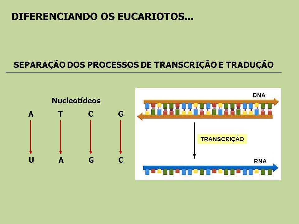 DNA RNA TRANSCRIÇÃO Nucleotídeos ATCG UAGCUAGC SEPARAÇÃO DOS PROCESSOS DE TRANSCRIÇÃO E TRADUÇÃO DIFERENCIANDO OS EUCARIOTOS...