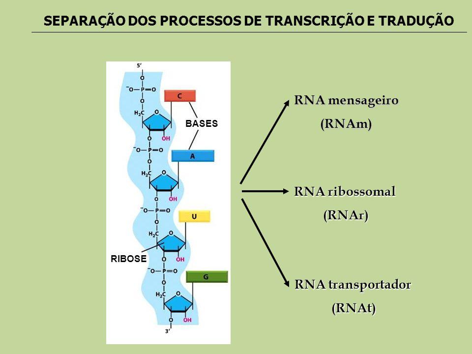 RIBOSE BASES RNA mensageiro (RNAm) RNA ribossomal (RNAr) RNA transportador (RNAt) SEPARAÇÃO DOS PROCESSOS DE TRANSCRIÇÃO E TRADUÇÃO