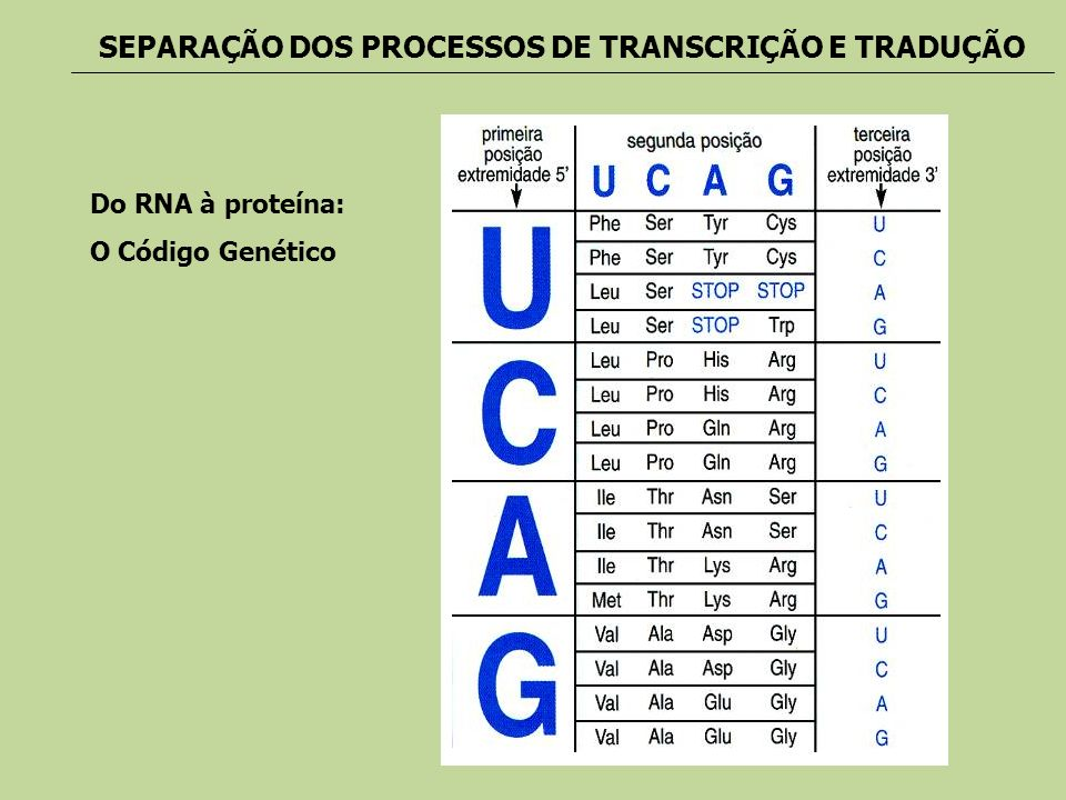 Do RNA à proteína: O Código Genético