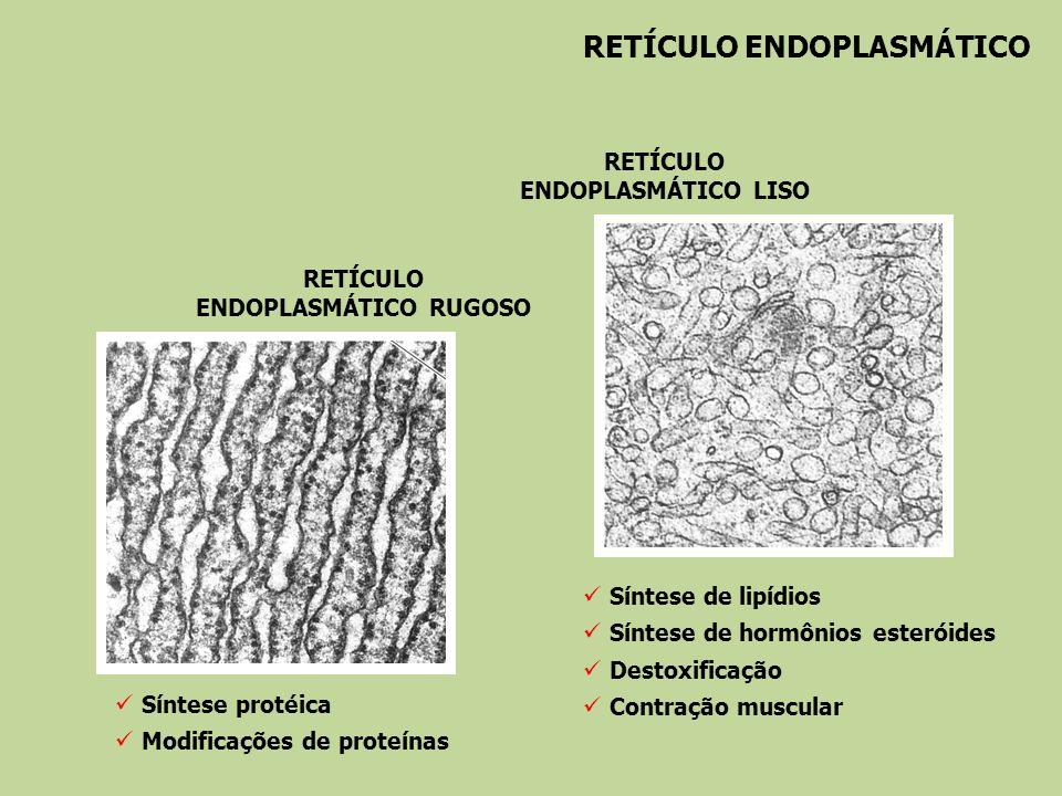 RETÍCULO ENDOPLASMÁTICO RETÍCULO ENDOPLASMÁTICO RUGOSO RETÍCULO ENDOPLASMÁTICO LISO Síntese protéica Modificações de proteínas Síntese de lipídios Sín