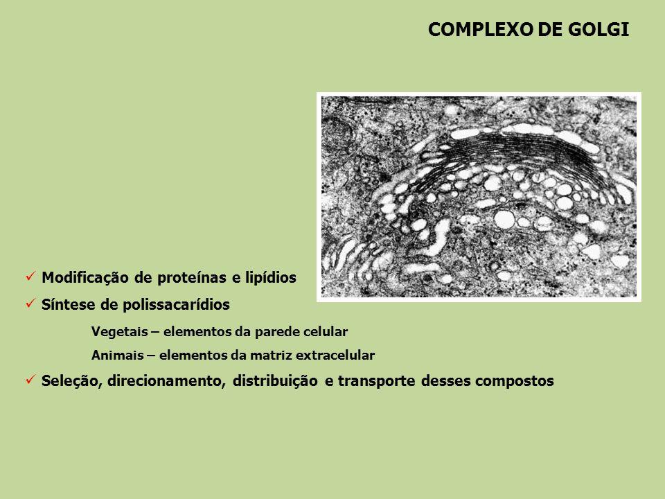 COMPLEXO DE GOLGI Modificação de proteínas e lipídios Síntese de polissacarídios Vegetais – elementos da parede celular Animais – elementos da matriz