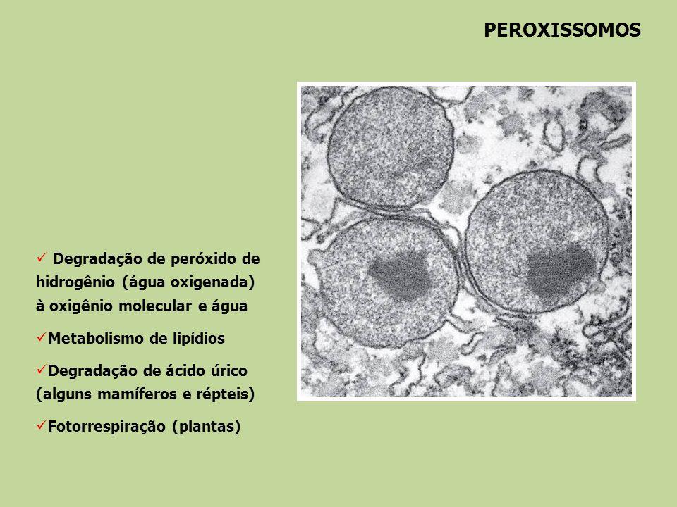 PEROXISSOMOS Degradação de peróxido de hidrogênio (água oxigenada) à oxigênio molecular e água Metabolismo de lipídios Degradação de ácido úrico (algu