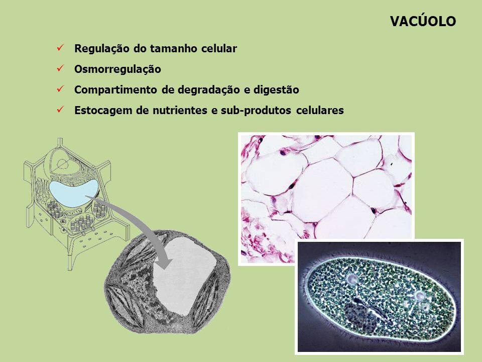 VACÚOLO Regulação do tamanho celular Osmorregulação Compartimento de degradação e digestão Estocagem de nutrientes e sub-produtos celulares