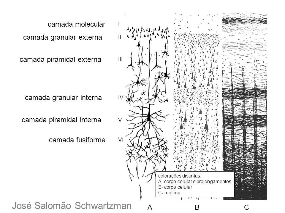 I II III IV V VI camada molecular camada granular externa camada piramidal externa camada granular interna camada piramidal interna camada fusiforme c