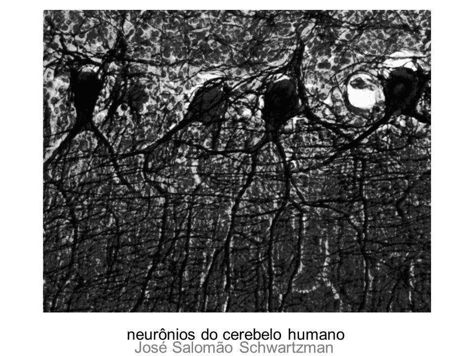 neurônios do cerebelo humano José Salomão Schwartzman