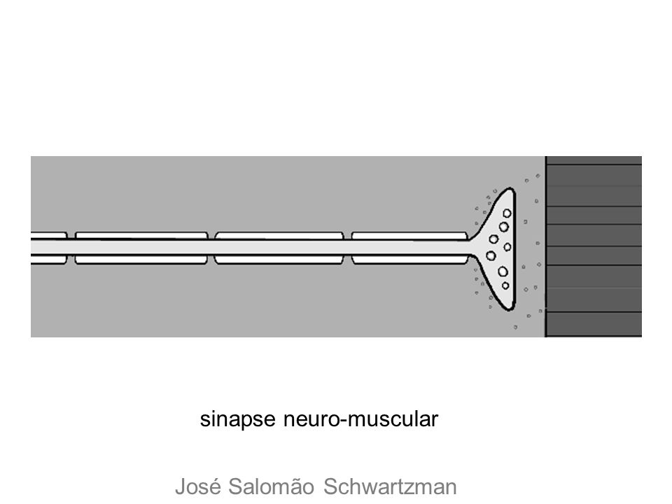 sinapse neuro-muscular José Salomão Schwartzman