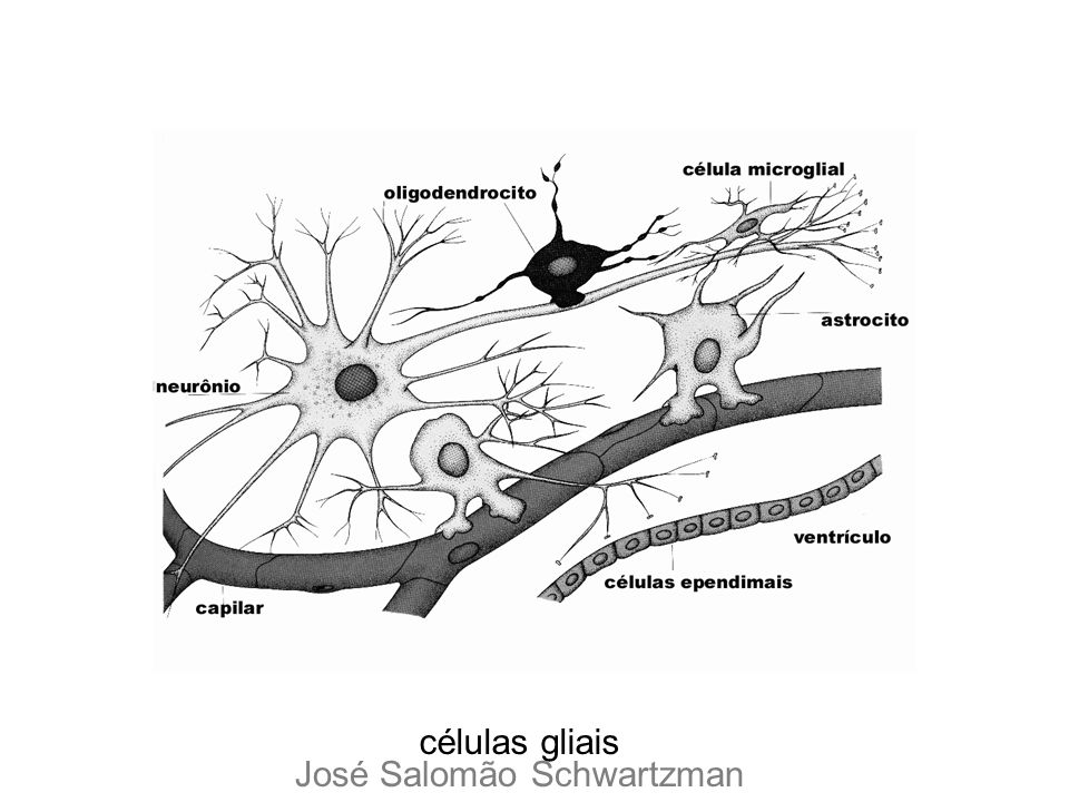 células gliais José Salomão Schwartzman