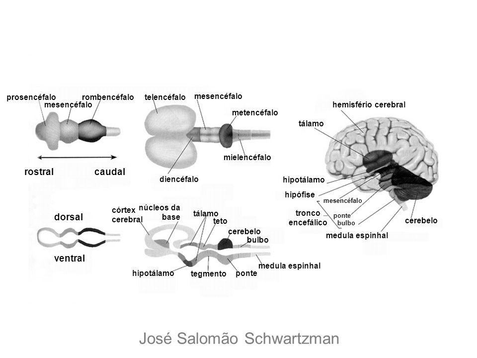 rostralcaudal prosencéfalo mesencéfalo rombencéfalotelencéfalo mesencéfalo metencéfalo mielencéfalo diencéfalo dorsal ventral córtex cerebral núcleos