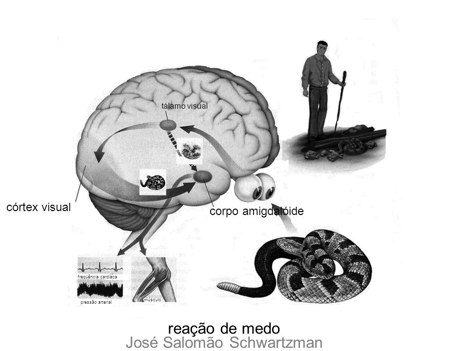 córtex visual tálamo visual corpo amigdalóide músculo pressão arterial freqüência cardíaca reação de medo José Salomão Schwartzman
