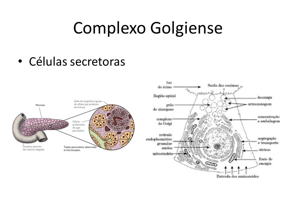 Complexo Golgiense Células secretoras