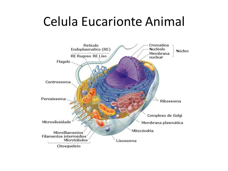 Citoplasma/Citosol/Hialoplasma É um espaço intra-celular preenchido por uma matriz semi-fluida (com consistência de gel), denominada hialoplasma.
