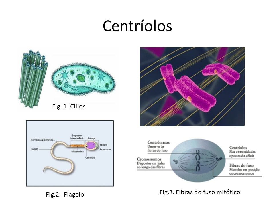 Centríolos Fig. 1. Cílios Fig.2. Flagelo Fig.3. Fibras do fuso mitótico