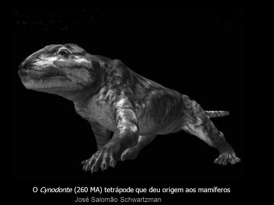 O Cynodonte (260 MA) tetrápode que deu origem aos mamíferos José Salomão Schwartzman