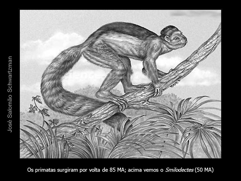 Os primatas surgiram por volta de 85 MA; acima vemos o Smilodectes (50 MA) José Salomão Schwartzman