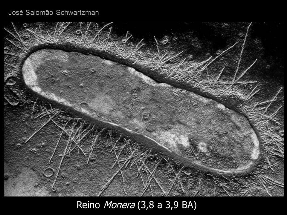 organismos unicelulares, procariócitos não possuem núcleo constituídos por citoplasma e material genético circundados ou limitados por membrana externa, não possuem núcleo nem organelas com membrana Reino Monera (3,8 a 3,9 BA) José Salomão Schwartzman
