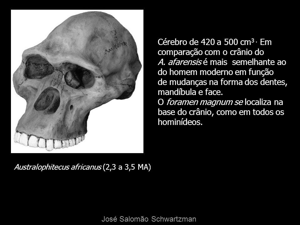 Australophitecus africanus (2,3 a 3,5 MA) Cérebro de 420 a 500 cm 3. Em comparação com o crânio do A. afarensis é mais semelhante ao do homem moderno
