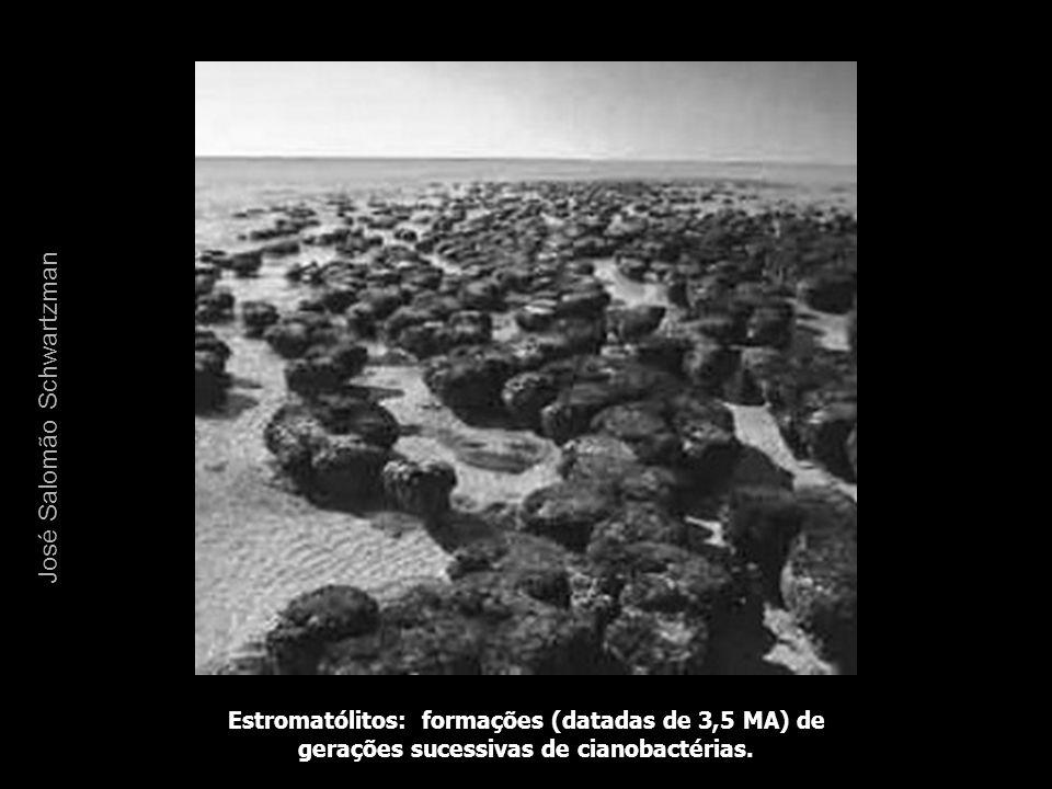 Estromatólitos: formações (datadas de 3,5 MA) de gerações sucessivas de cianobactérias. José Salomão Schwartzman