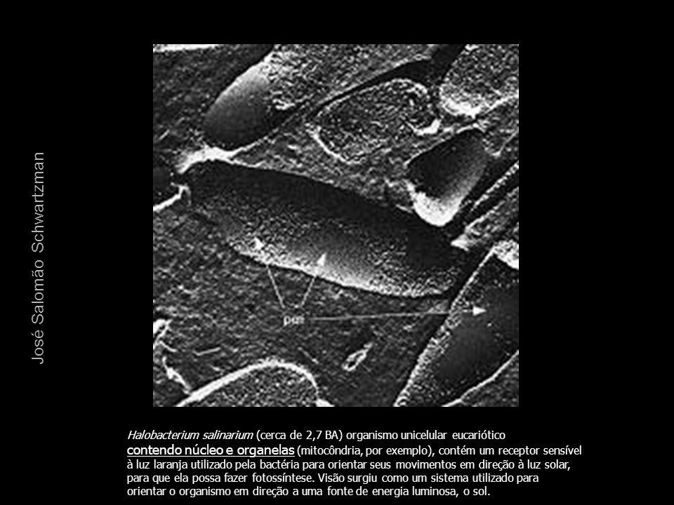 Halobacterium salinarium (cerca de 2,7 BA) organismo unicelular eucariótico contendo núcleo e organelas (mitocôndria, por exemplo), contém um receptor