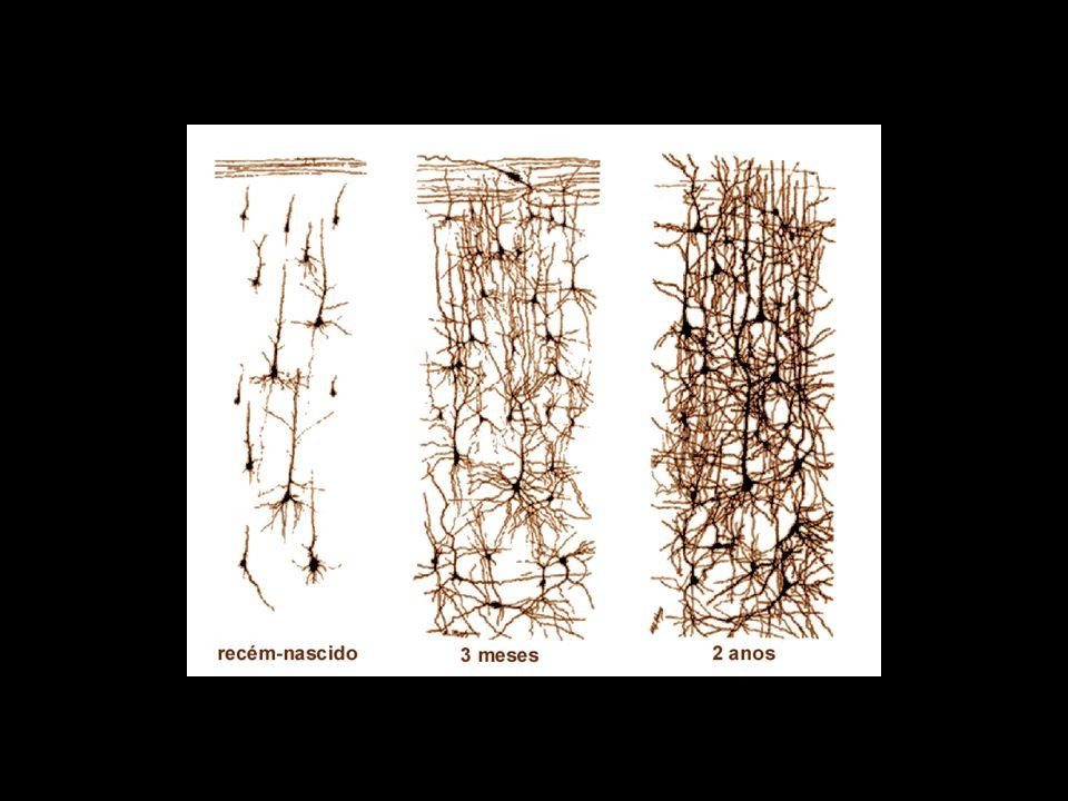 neurônios em recém-nascidos e adultos