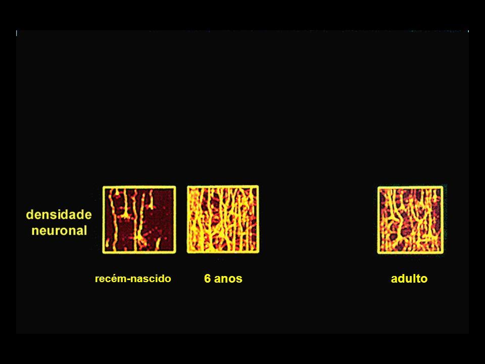 crescimento celular no córtex cerebral (0 a 2 anos)