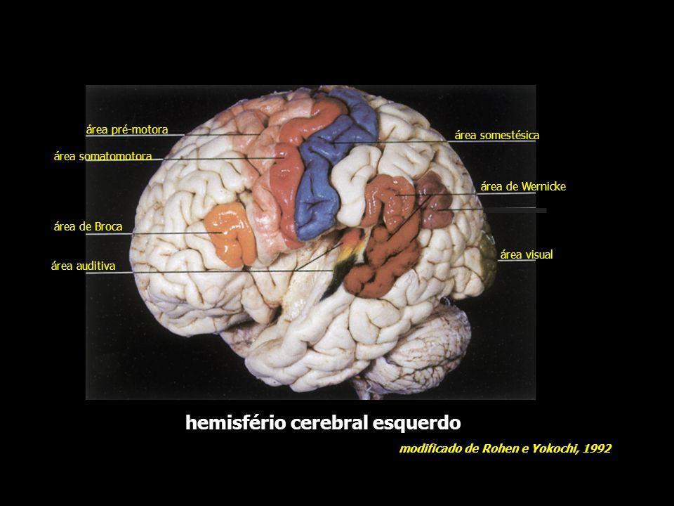 área pré-motora área motora primária área somestésica primária área de associação pré-frontal área visual primária área de associação parieto-têmporo-