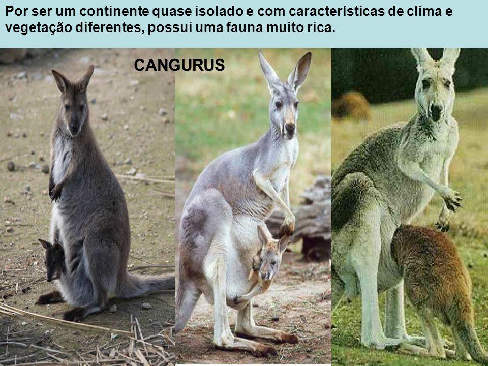 Por ser um continente quase isolado e com características de clima e vegetação diferentes, possui uma fauna muito rica. CANGURUS