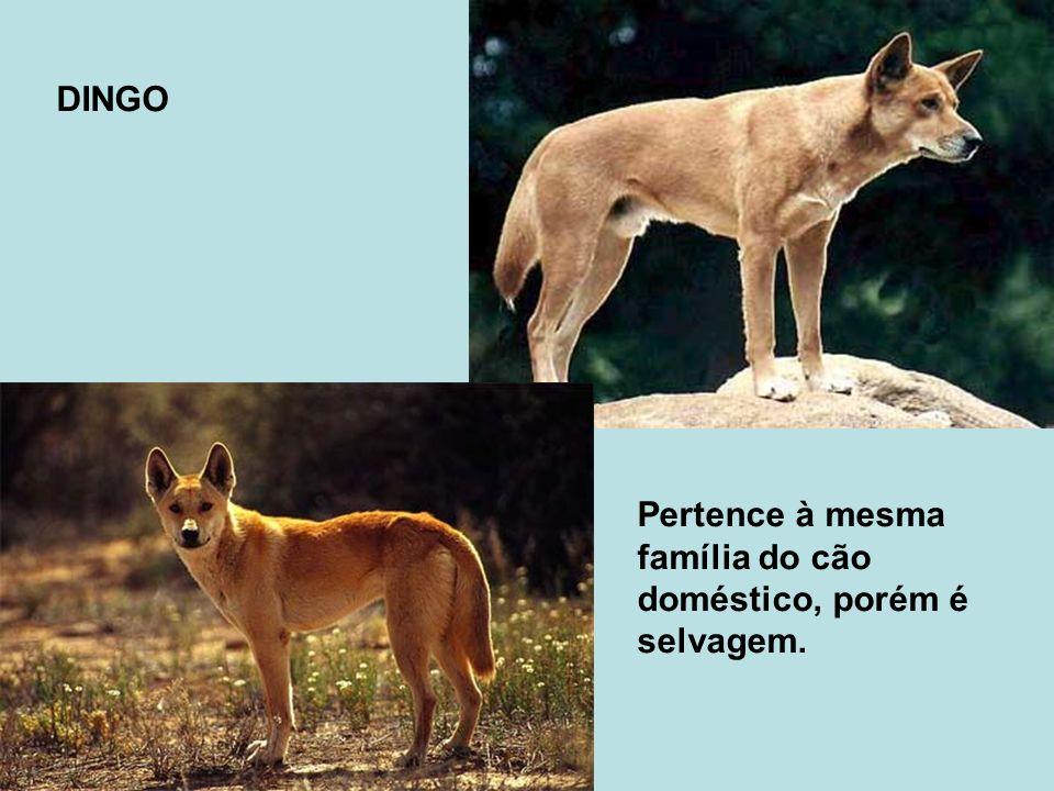 DINGO Pertence à mesma família do cão doméstico, porém é selvagem.