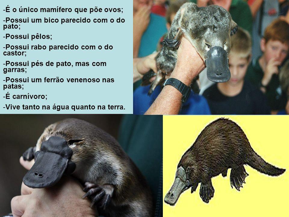 -É o único mamífero que põe ovos; -Possui um bico parecido com o do pato; -Possui pêlos; -Possui rabo parecido com o do castor; -Possui pés de pato, m