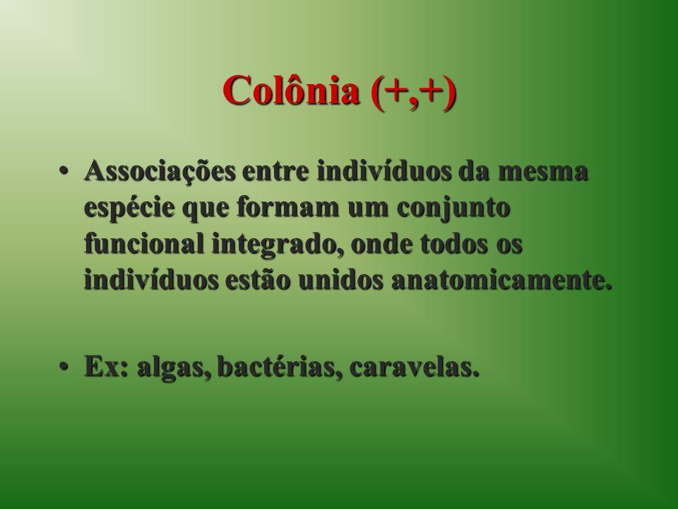 Colônia (+,+) Associações entre indivíduos da mesma espécie que formam um conjunto funcional integrado, onde todos os indivíduos estão unidos anatomic