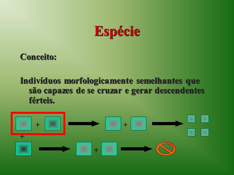 Espécie Conceito: Indivíduos morfologicamente semelhantes que são capazes de se cruzar e gerar descendentes férteis. + + + +