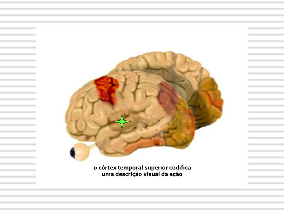 o córtex temporal superior codifica uma descrição visual da ação