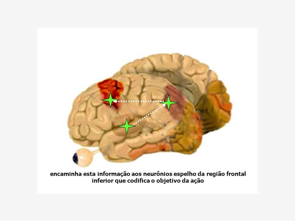 encaminha esta informação aos neurônios espelho da região frontal inferior que codifica o objetivo da ação