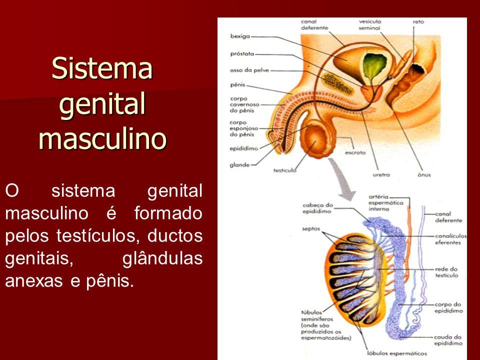 Sistema genital masculino O sistema genital masculino é formado pelos testículos, ductos genitais, glândulas anexas e pênis.