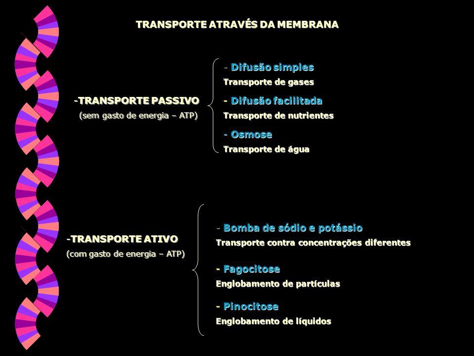 TRANSPORTE ATRAVÉS DA MEMBRANA -TRANSPORTE PASSIVO (sem gasto de energia – ATP) (sem gasto de energia – ATP) - Difusão simples Transporte de gases - Difusão facilitada Transporte de nutrientes - Osmose Transporte de água -TRANSPORTE ATIVO (com gasto de energia – ATP) - Bomba de sódio e potássio Transporte contra concentrações diferentes - Pinocitose Englobamento de líquidos - Fagocitose Englobamento de partículas