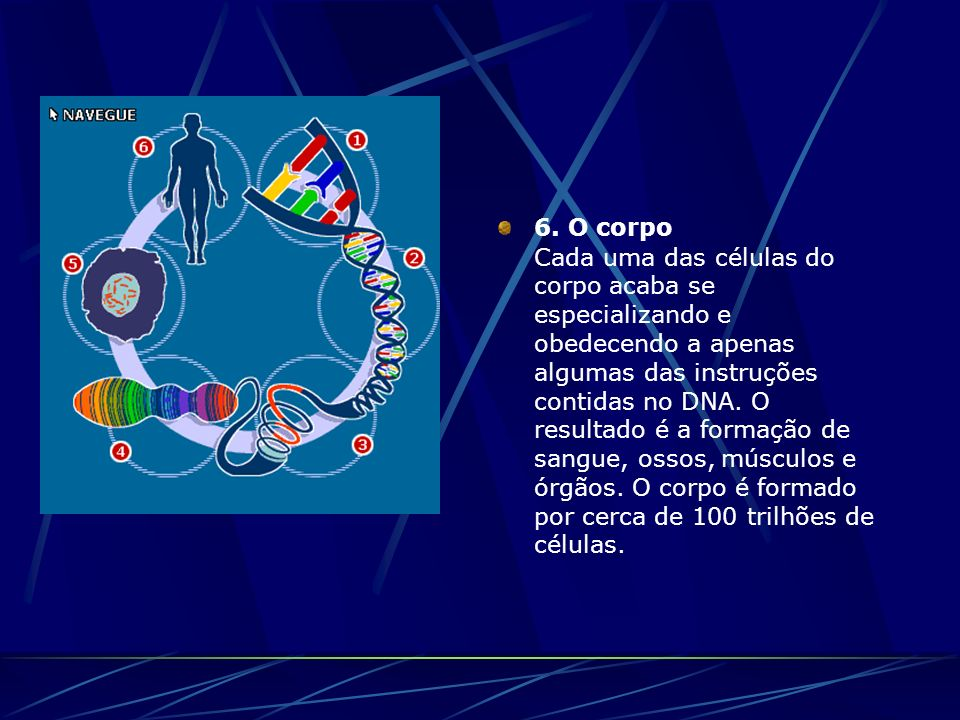 6. O corpo Cada uma das células do corpo acaba se especializando e obedecendo a apenas algumas das instruções contidas no DNA. O resultado é a formaçã