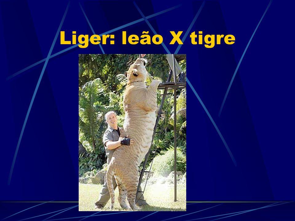 Liger: leão X tigre
