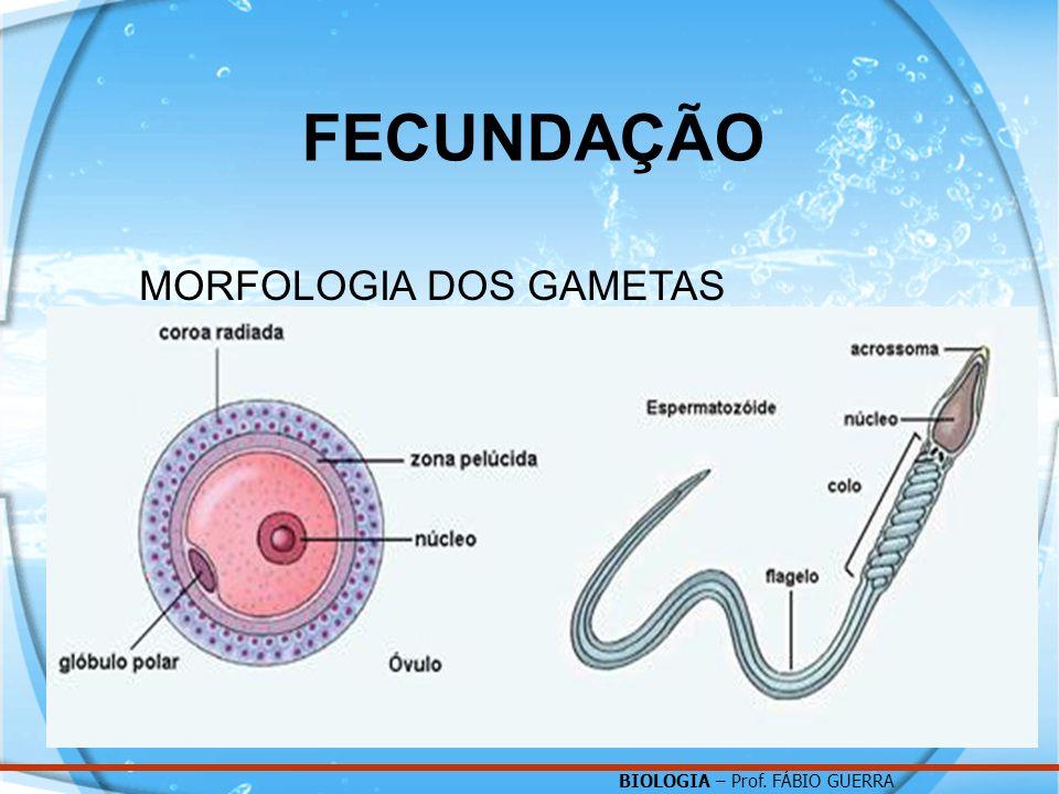 BIOLOGIA – Prof. FÁBIO GUERRA FECUNDAÇÃO MORFOLOGIA DOS GAMETAS