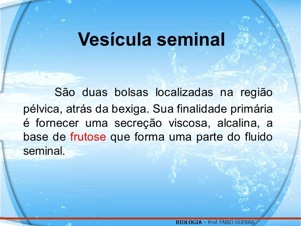 BIOLOGIA – Prof. FÁBIO GUERRA Vesícula seminal São duas bolsas localizadas na região pélvica, atrás da bexiga. Sua finalidade primária é fornecer uma