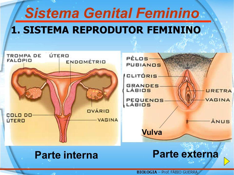 BIOLOGIA – Prof. FÁBIO GUERRA Sistema Genital Feminino 1. SISTEMA REPRODUTOR FEMININO Parte interna Parte externa Vulva