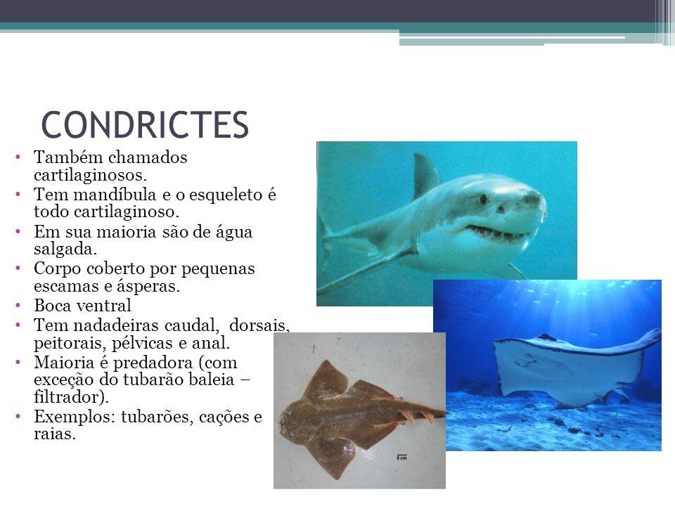 CONDRICTES Também chamados cartilaginosos. Tem mandíbula e o esqueleto é todo cartilaginoso. Em sua maioria são de água salgada. Corpo coberto por peq