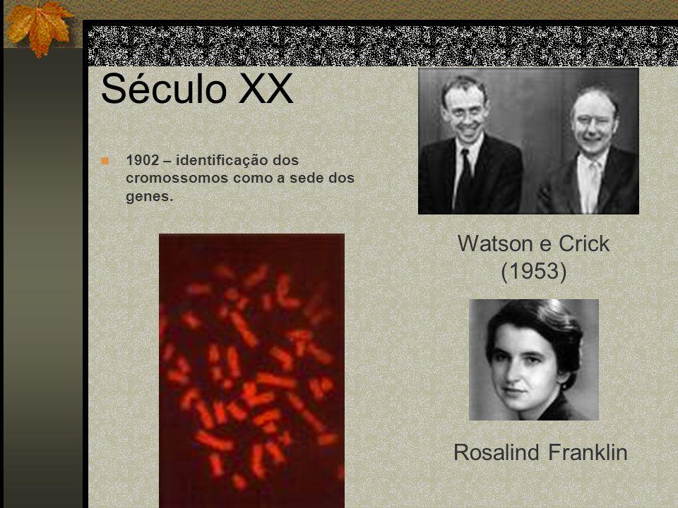Século XX 1902 – identificação dos cromossomos como a sede dos genes. Watson e Crick (1953) Rosalind Franklin