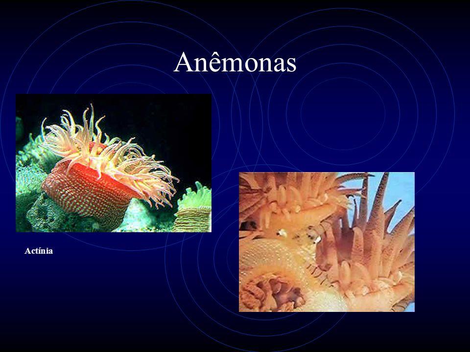 Anêmonas Actínia