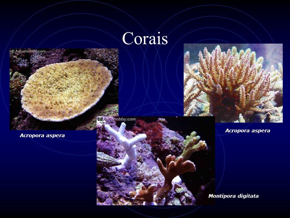 Corais Acropora aspera Montipora digitata