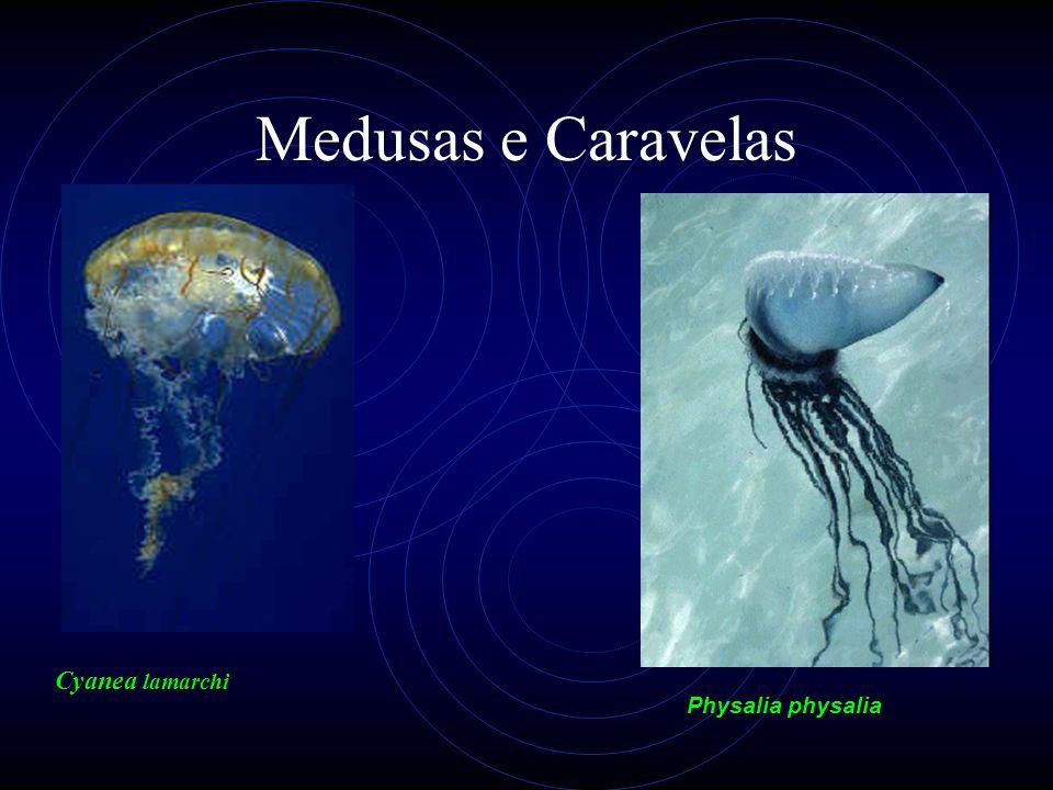 Medusas e Caravelas Cyanea lamarchi Physalia physalia