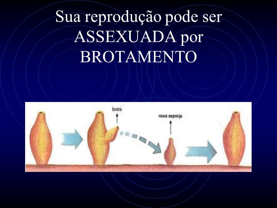 Sua reprodução pode ser ASSEXUADA por BROTAMENTO